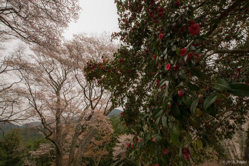 山桜 満開_c0350572_21210603.jpg