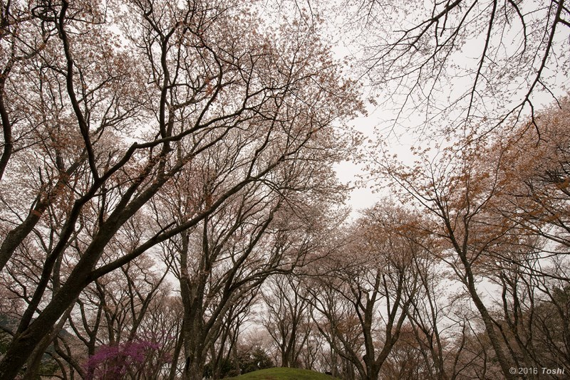 山桜 満開_c0350572_21220062.jpg
