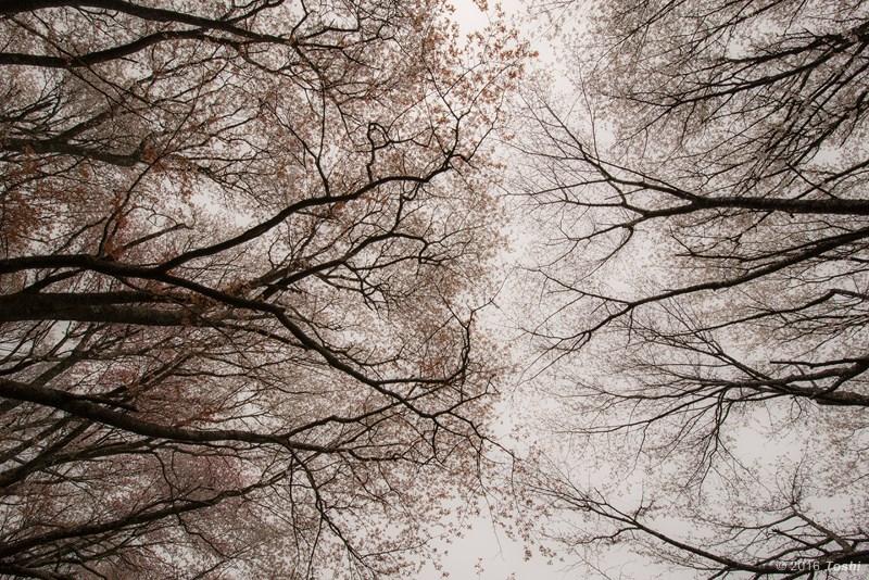 山桜 満開_c0350572_21220740.jpg