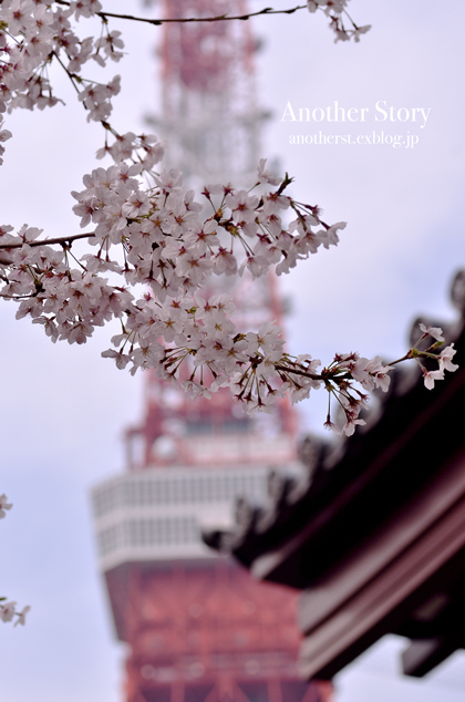sakura saku_a0238574_08015092.jpg