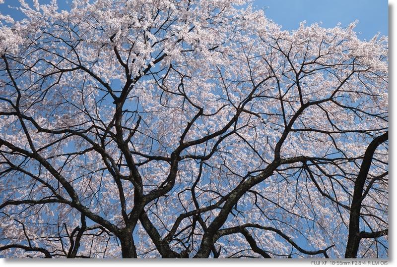 桜_c0054876_17582381.jpg