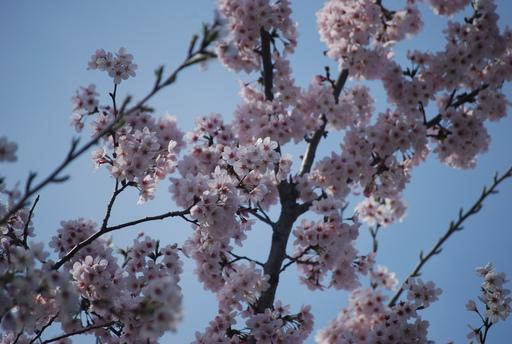 春の花々とワンコ_f0101201_14112721.jpg