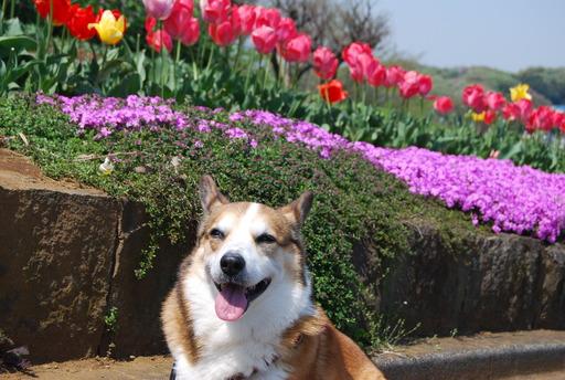 春の花々とワンコ_f0101201_14201855.jpg