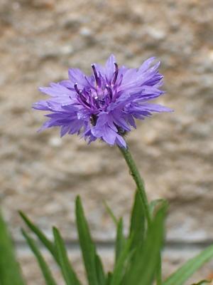ちょっとがっかりな「ヤグルマギク」の花色_e0289203_16551859.jpg