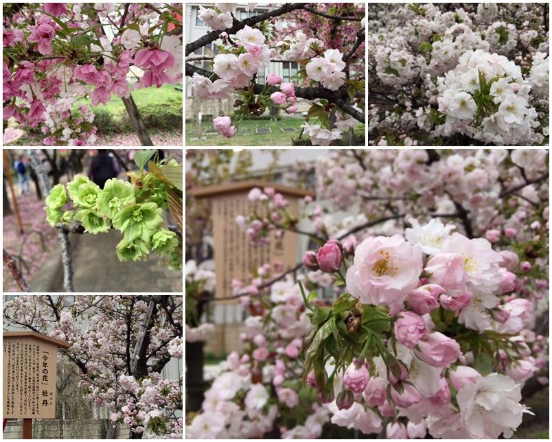 造幣局の桜_a0326106_12325746.jpg