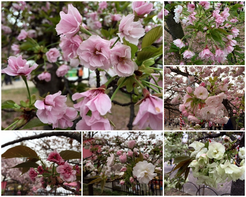 造幣局の桜_a0326106_12331850.jpg