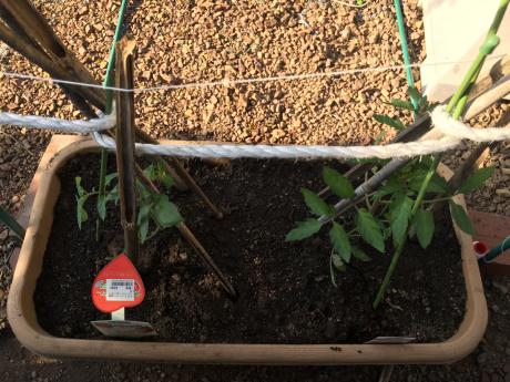 トマト栽培_a0186615_09121647.jpg