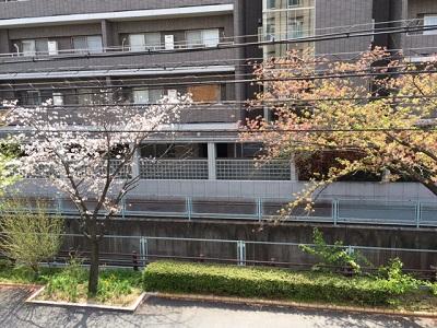 TARRYTABLEの桜事情_a0118722_1635817.jpg