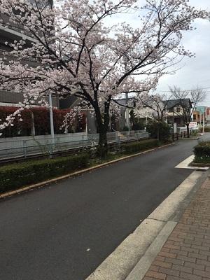 TARRYTABLEの桜事情_a0118722_164058.jpg