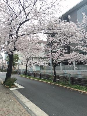 TARRYTABLEの桜事情_a0118722_164219.jpg