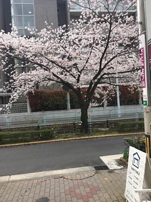 TARRYTABLEの桜事情_a0118722_164715.jpg