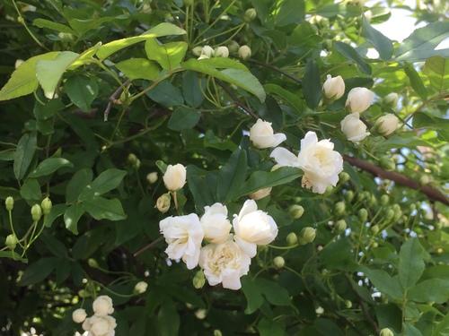 「モッコウ薔薇」_e0288544_11243275.jpg