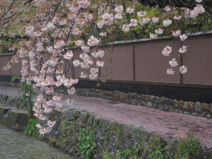 桜 2016 白川_f0021869_23375494.jpg