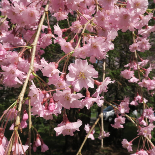 G9Xを片手にお花見散歩@片平~広瀬川_f0100593_15180615.jpg