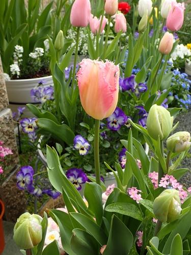 遅咲きキューリップの開花_e0289203_11143372.jpg