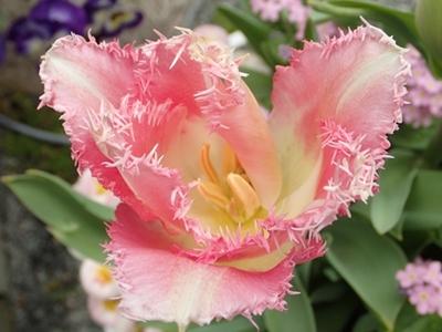 遅咲きキューリップの開花_e0289203_11163465.jpg