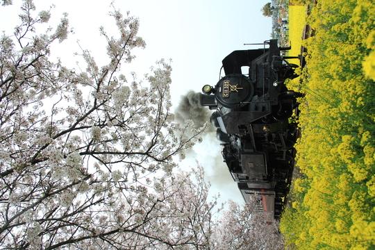 桜と菜の花と真岡鉄道_b0207413_12524829.jpg