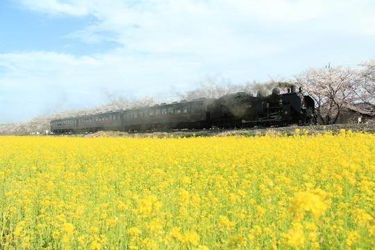 桜と菜の花と真岡鉄道_b0207413_945751.jpg