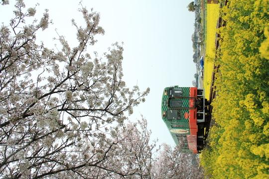 桜と菜の花と真岡鉄道_b0207413_955698.jpg