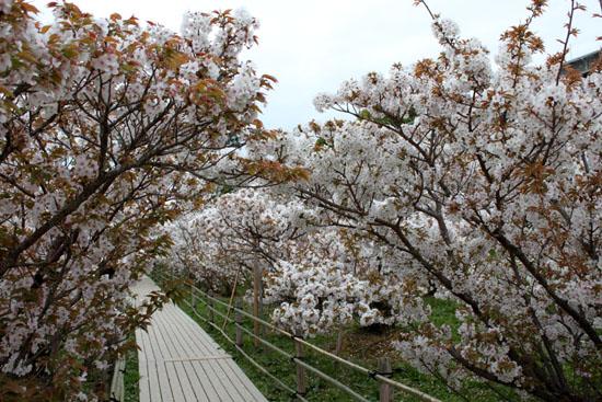 2016さくら便り45 仁和寺御室桜_e0048413_16555194.jpg
