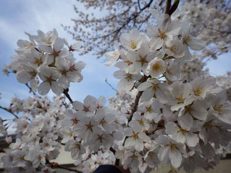 小諸 懐古園の桜!_d0035921_1234577.jpg