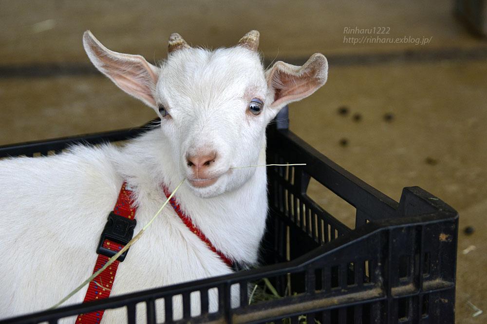 2015.10.12 那須サファリパーク☆ヤギのガンツ【Goat】_f0250322_2091931.jpg