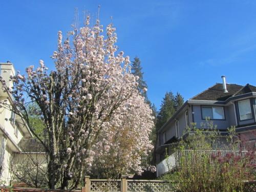 裏の桜_a0173527_00080276.jpg