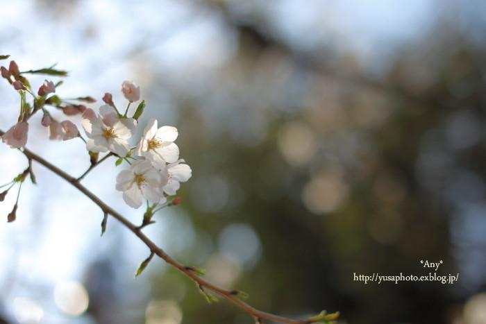 身近な桜も。_e0347431_20580951.jpg