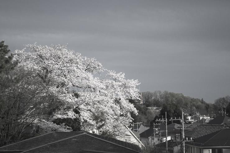 sakura (4cut)_e0342136_15443391.jpg