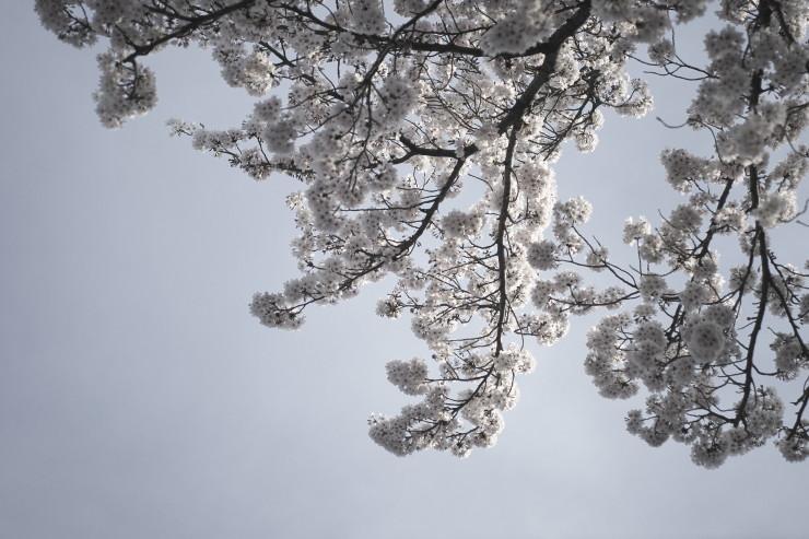 sakura (4cut)_e0342136_15444913.jpg