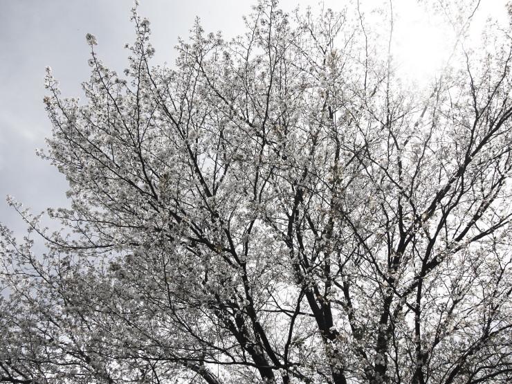 sakura (4cut)_e0342136_15461646.jpg