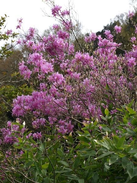 新緑とミツバツツジ 刻々と変わっていく春の色について_e0122680_13404328.jpg