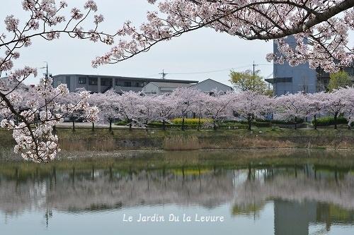 桜_f0329586_15221311.jpg