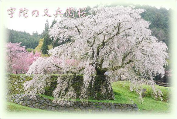 桜_f0292335_22500159.jpg