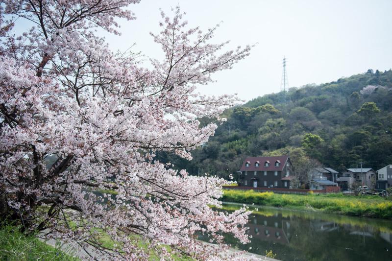 香東川 河川敷の桜 2016/04/09_d0246136_12051483.jpg