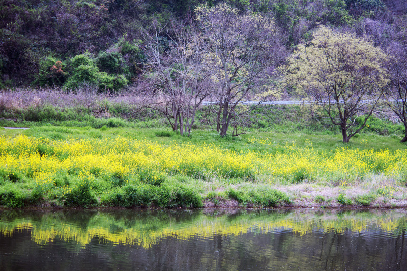 香東川 河川敷の桜 2016/04/09_d0246136_12055151.jpg