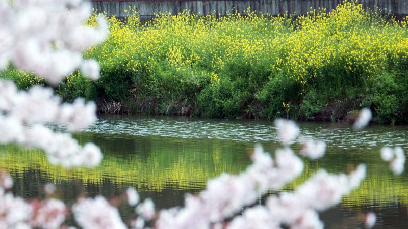 香東川 河川敷の桜 2016/04/09_d0246136_12060754.jpg