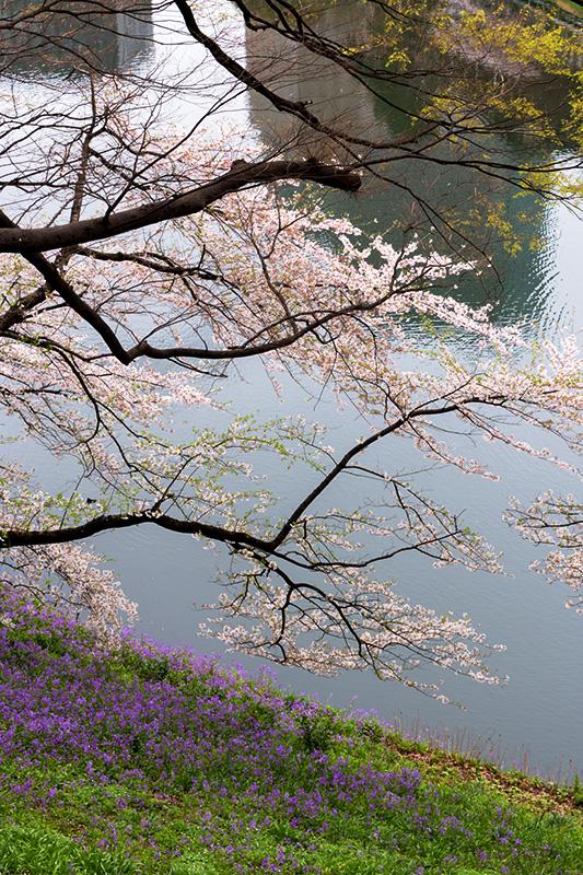皇居の桜_a0003650_2283164.jpg