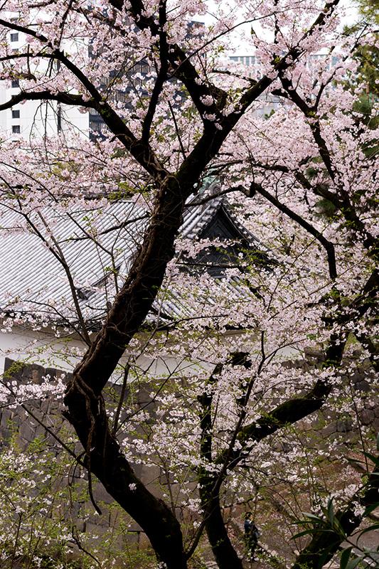 皇居の桜_a0003650_229471.jpg