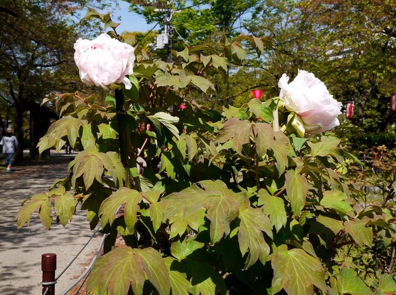 和歌山城のボタン園_b0093754_23444097.jpg