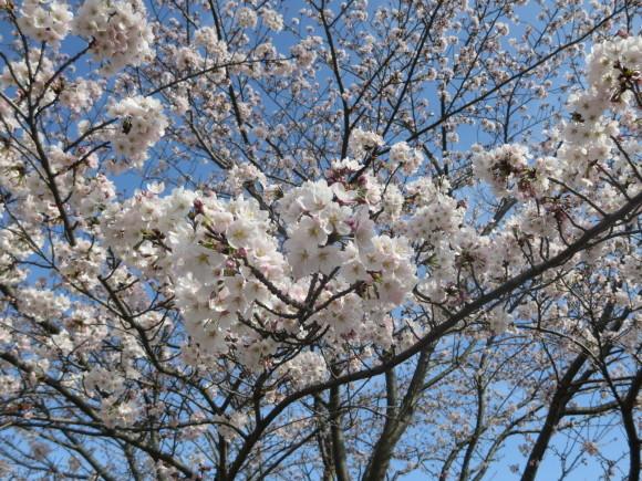 桜の季節も終わってしまいました。_c0001670_20325124.jpg