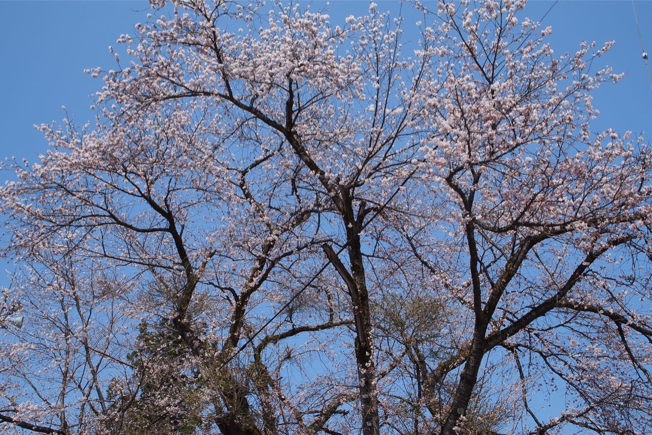 桜、満開_a0025576_21590220.jpg