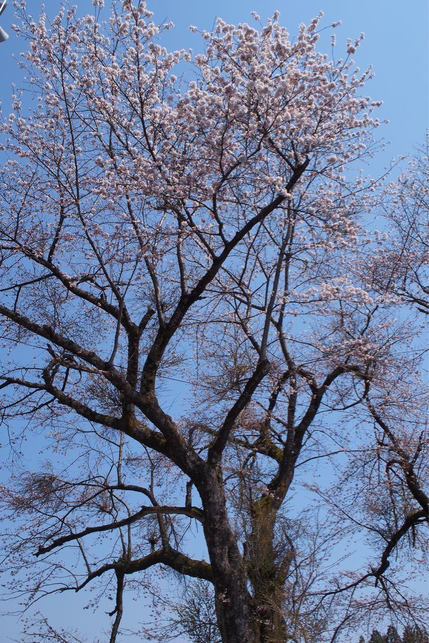 桜、満開_a0025576_21591140.jpg