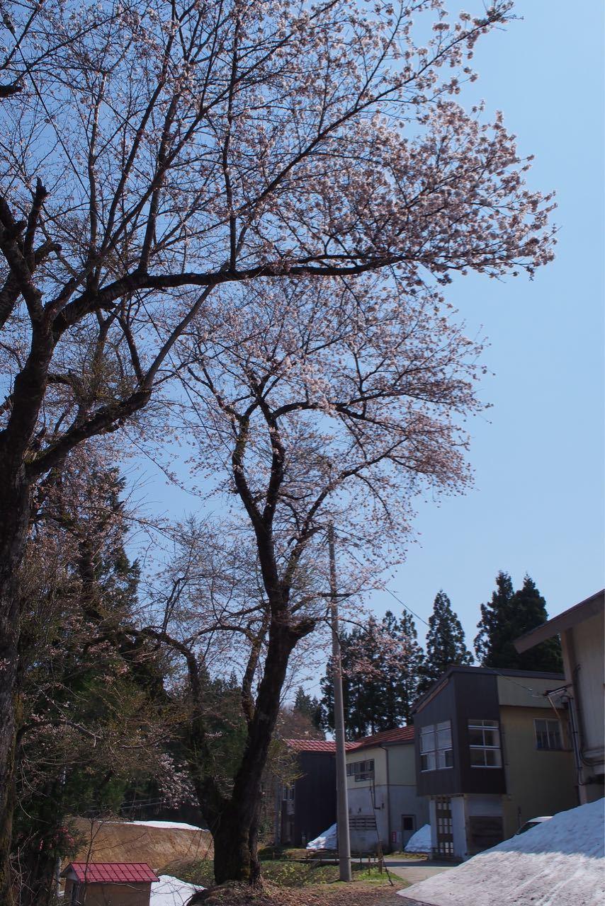 桜、満開_a0025576_21591935.jpg