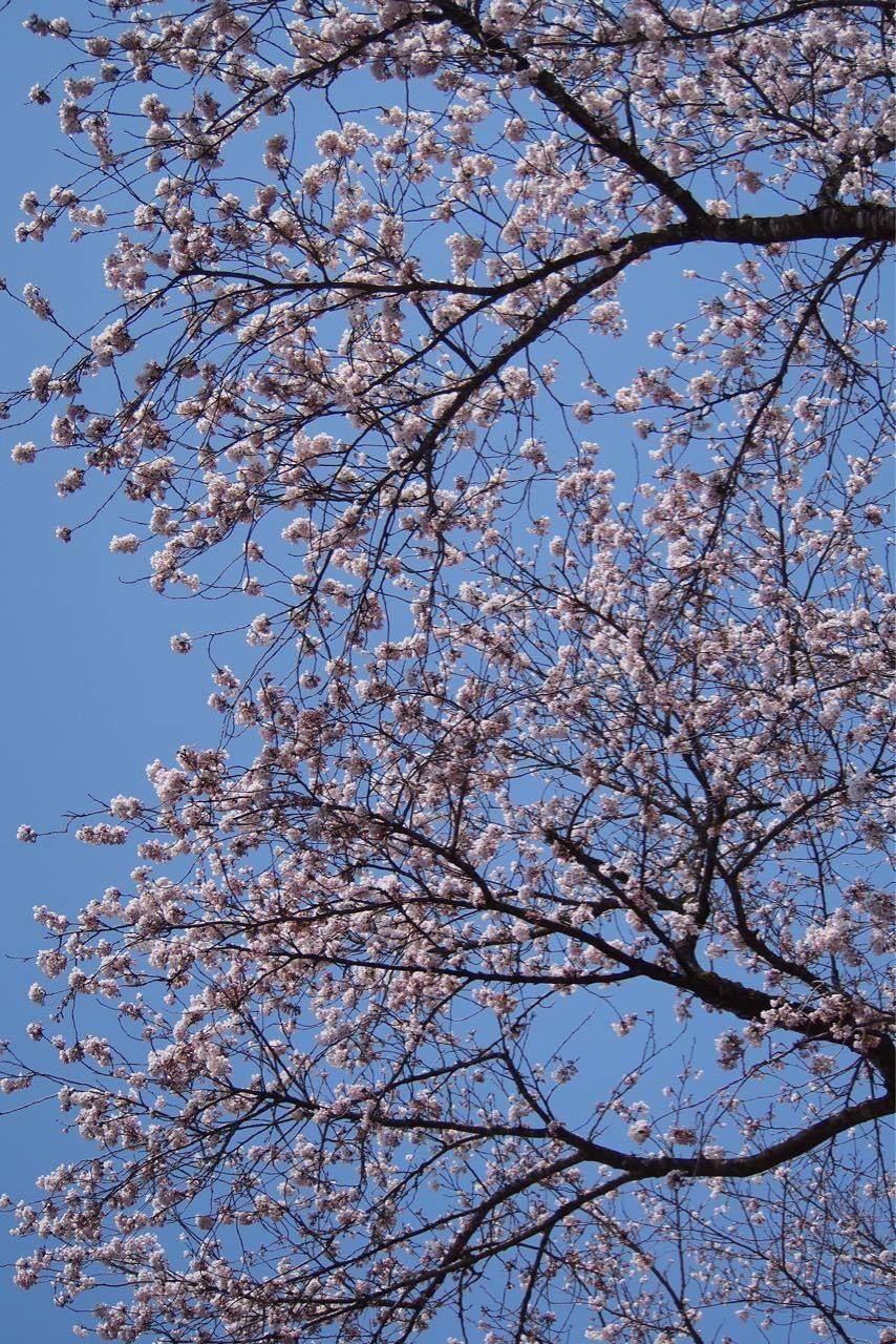 桜、満開_a0025576_21593271.jpg