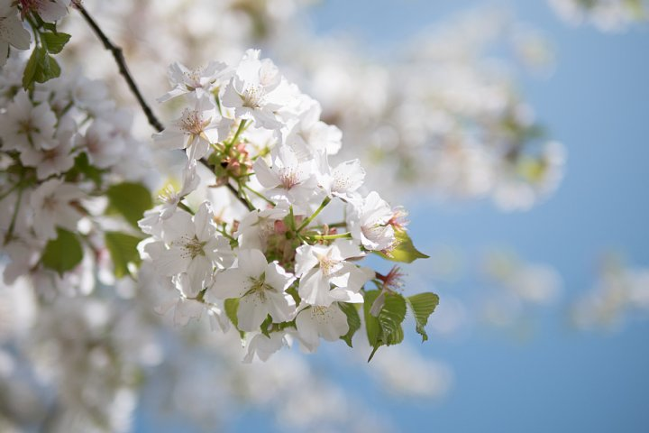 名残の桜_d0353489_17284427.jpg