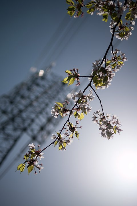 名残の桜_d0353489_1729509.jpg