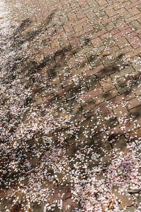 名残の桜_d0353489_17301724.jpg