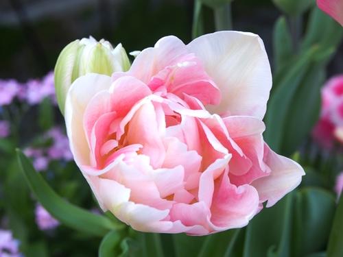 「アンジェリケ」が咲きました_e0289203_21575724.jpg