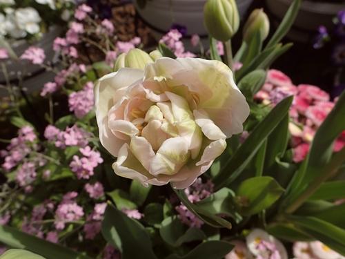 「アンジェリケ」が咲きました_e0289203_2158146.jpg